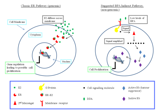 Diagram showing how BPA can indirectly influence cell proliferation