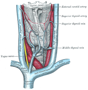 Thyroid gland by Grays Anatomy, from Wikimedia